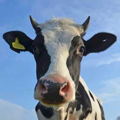 Rescued Cow Sylvia   Watson & Wolfe