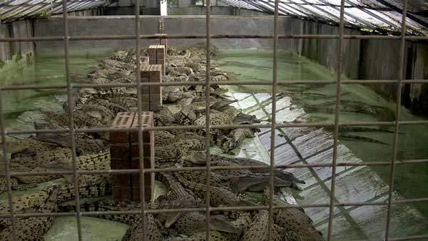 Crocodile Farms | Watson & Wolfe